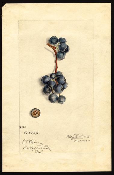 米国農務省の果物水彩画コレクションが公開されています_c0025115_22272901.jpg