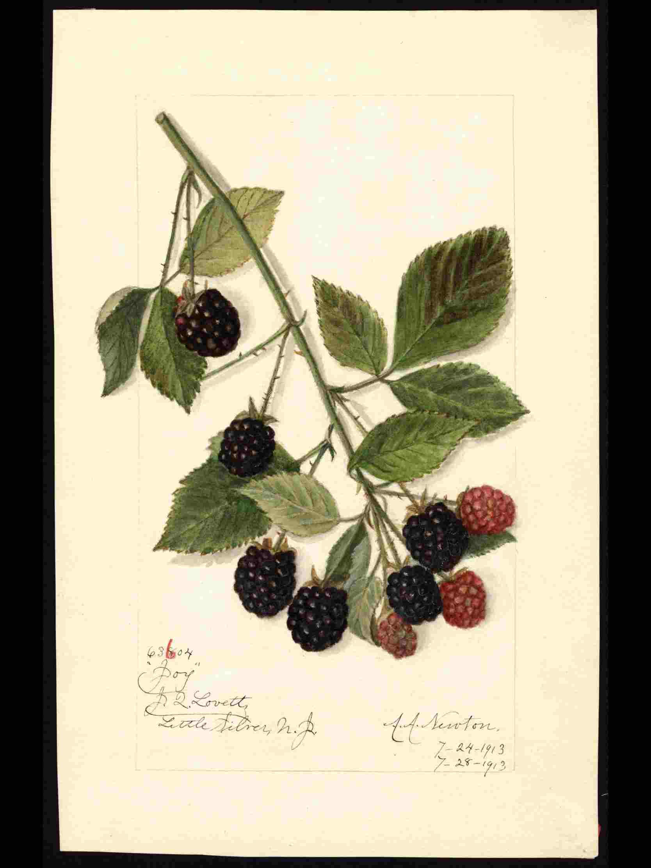 米国農務省の果物水彩画コレクションが公開されています_c0025115_22273569.jpg