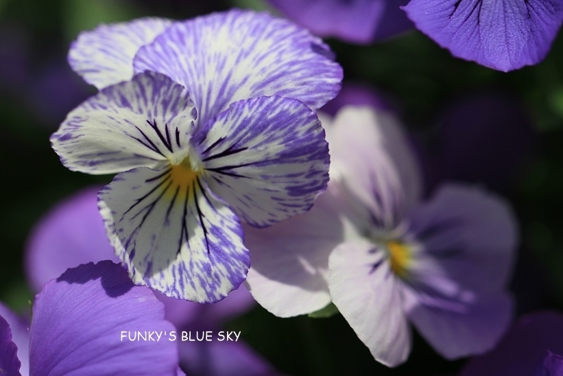 庭の小さなブーケ** (5月29日)_c0145250_10023813.jpg