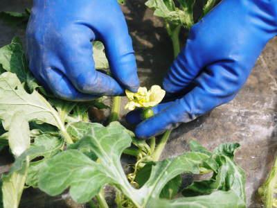 黒小玉スイカ「ひとりじめbonbon」黄色果肉は7月2日出荷分まで!赤果肉、メロンとのコンビも大人気!_a0254656_17044447.jpg