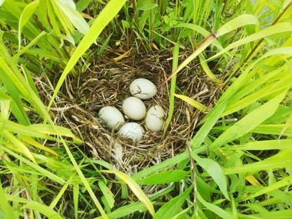 野ガモの卵を見つけました。でも、草刈しちゃったんだよね。親鳥もう来ないかも。_b0126182_09004029.jpg