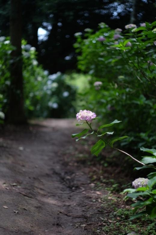 紫陽花山を歩いて・・2_d0021491_00253745.jpg