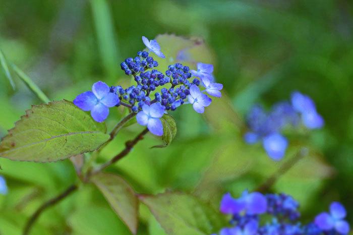 紫陽花_d0162994_12043665.jpg