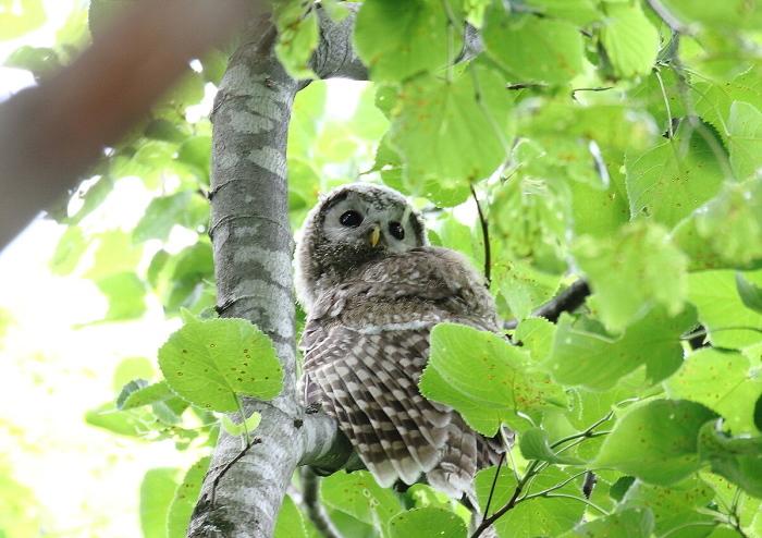 エゾフクロウの幼鳥さん_c0113597_13465405.jpg