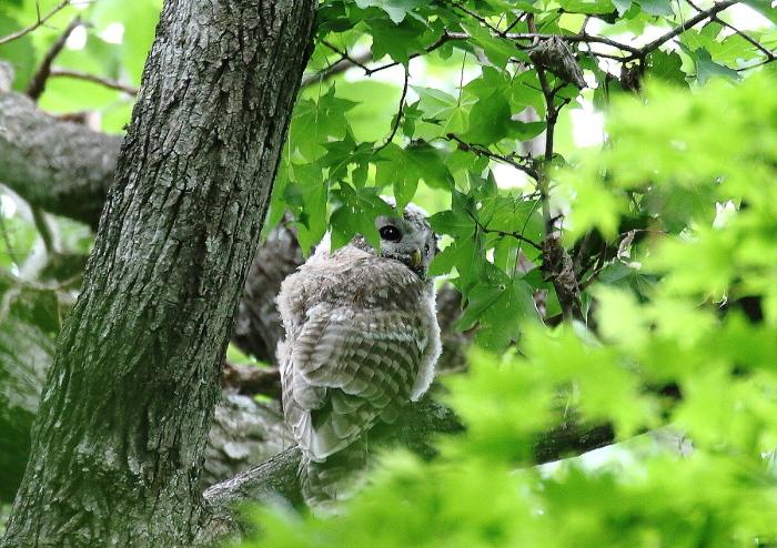 エゾフクロウの幼鳥さん_c0113597_13480136.jpg
