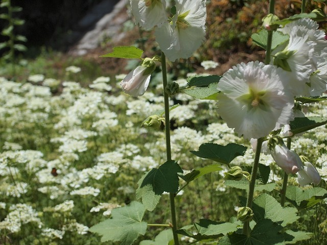 久米南町の花菖蒲園_d0295818_00413251.jpg