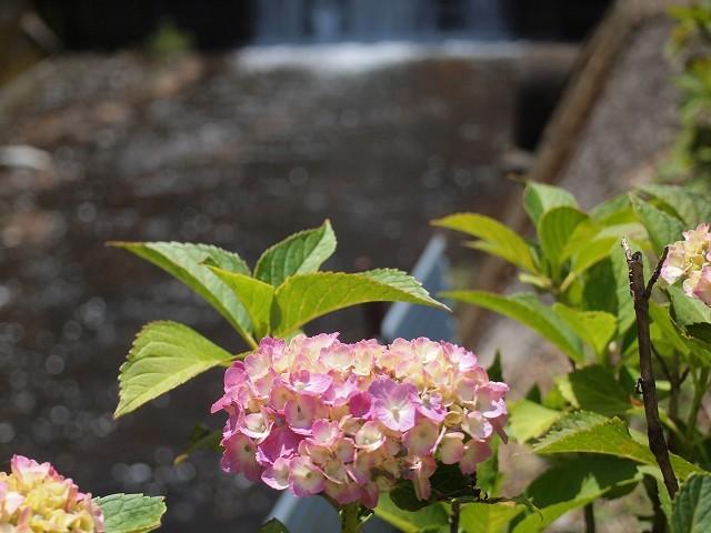 久米南町の花菖蒲園_d0295818_00434457.jpg