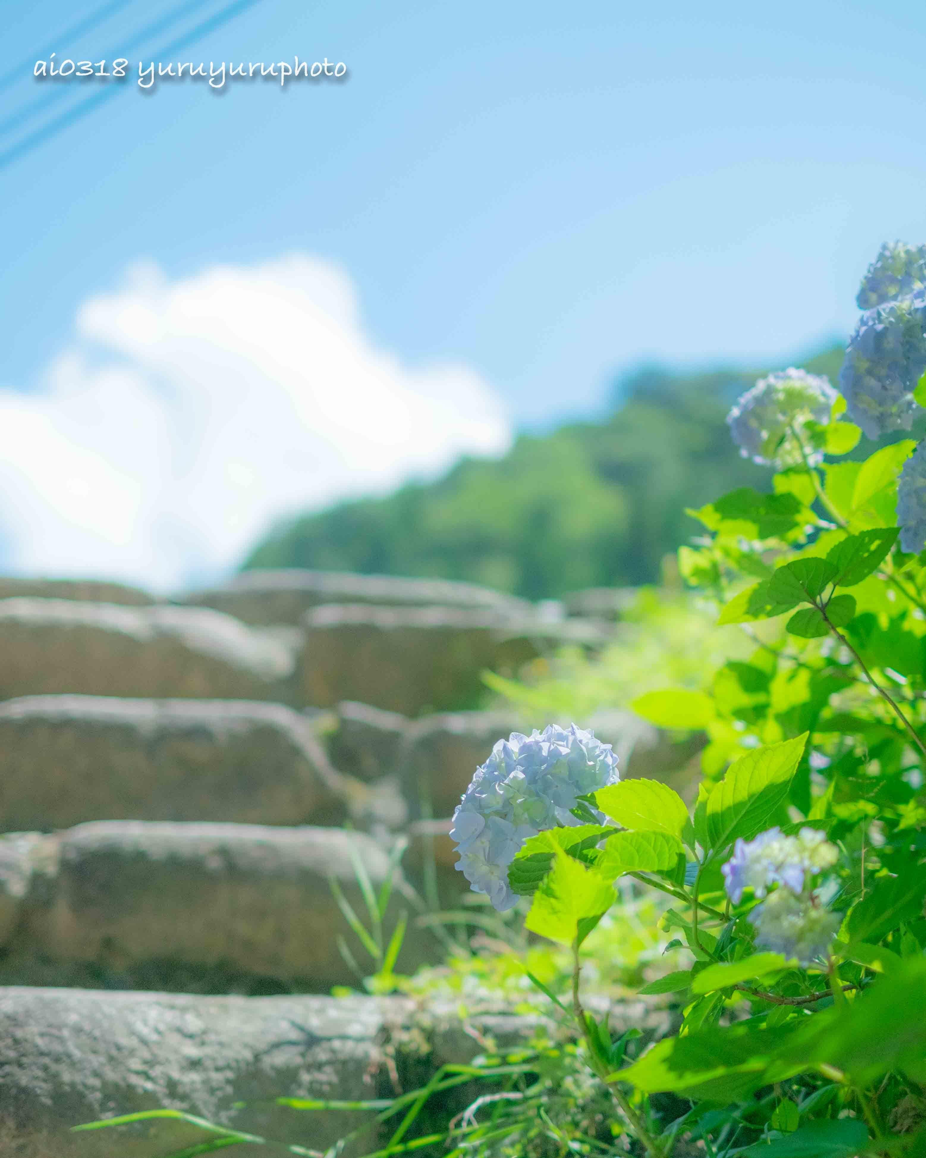 川沿いの紫陽花。_b0304227_06154341.jpg