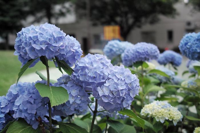 あそぶべ公園の紫陽花と映画「新聞記者」_c0182775_1646495.jpg