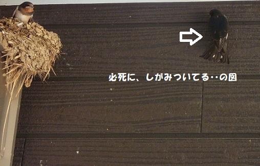 我が家のツバメ日記 ~ 涙の別れ編 ~_f0368691_15440473.jpg