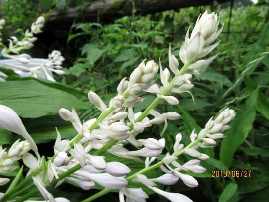 夏花が菜園で咲いた_e0048413_17545900.jpg