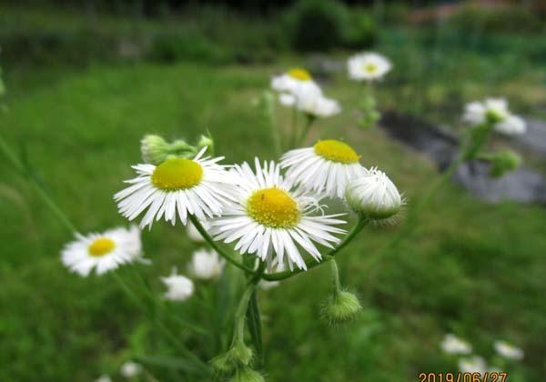 夏花が菜園で咲いた_e0048413_17551327.jpg