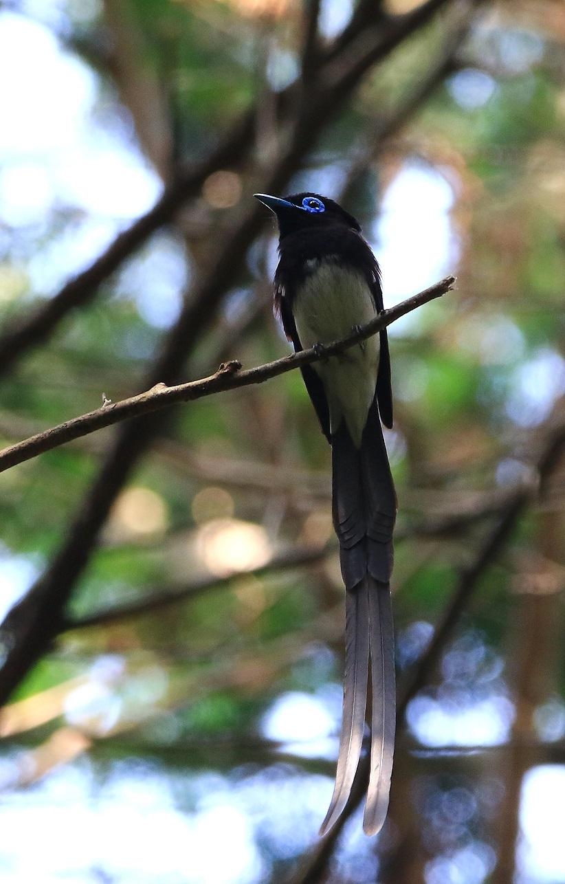 針葉樹林の中のサンコウチョウ♂_f0364220_12375976.jpg