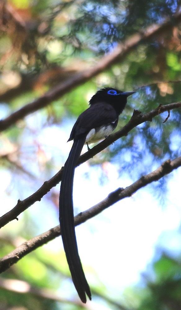 針葉樹林の中のサンコウチョウ♂_f0364220_13242032.jpg