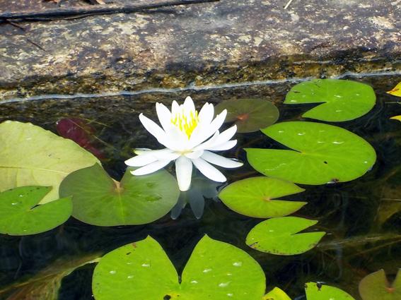 水面に咲く可憐な花_f0045132_17474292.jpg