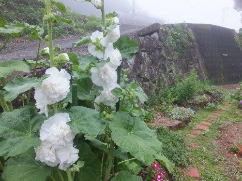 マイガーデン~夏の花たち_d0336460_23311220.jpg