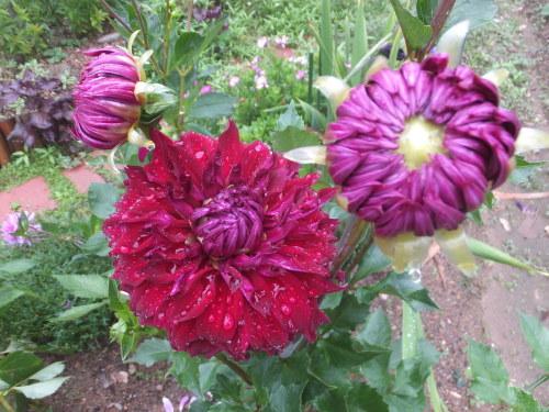 マイガーデン~夏の花たち_d0336460_23322268.jpg
