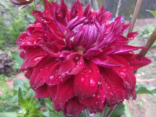 マイガーデン~夏の花たち_d0336460_23332369.jpg