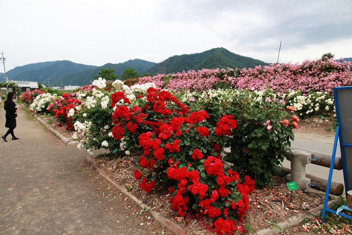 さかき千曲川バラ公園_a0107574_15273822.jpg