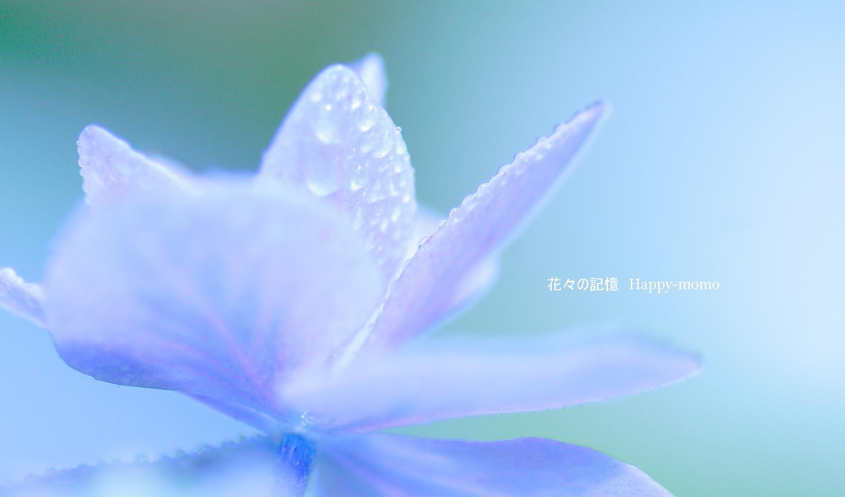 梅雨の紫陽花・・_c0357781_13590395.jpg