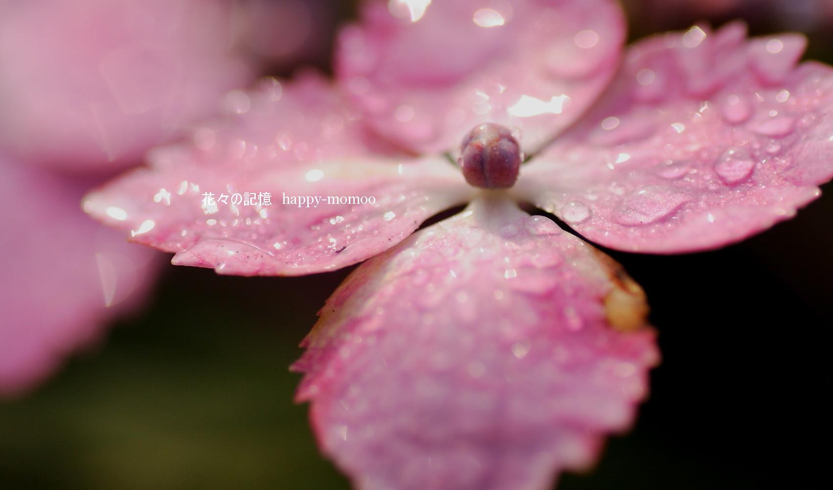 梅雨の紫陽花・・_c0357781_13594190.jpg