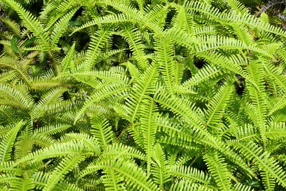 緑の山の絨毯役シダ植物_b0145296_14095927.jpg