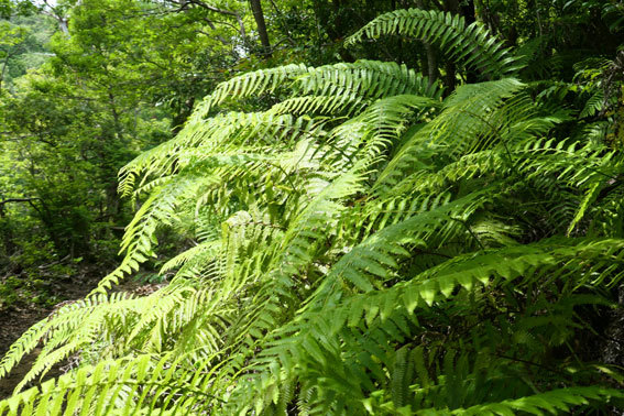 緑の山の絨毯役シダ植物_b0145296_14100223.jpg