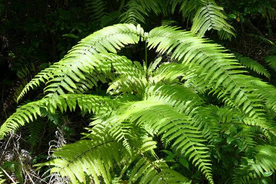緑の山の絨毯役シダ植物_b0145296_14100554.jpg