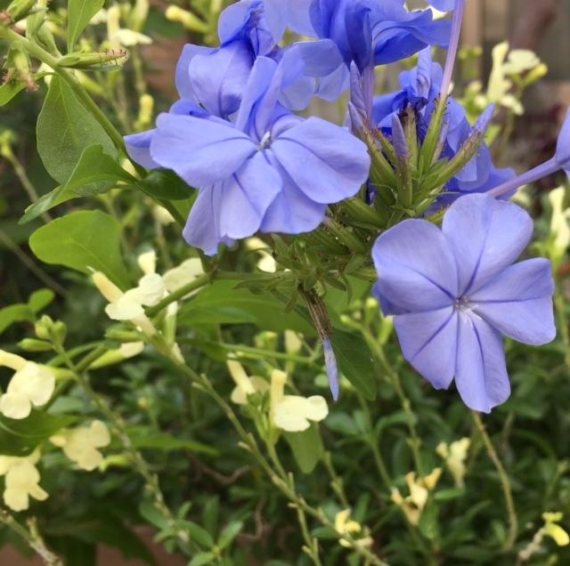 my little garden   好きなお花が次々と_a0165160_14463770.jpg