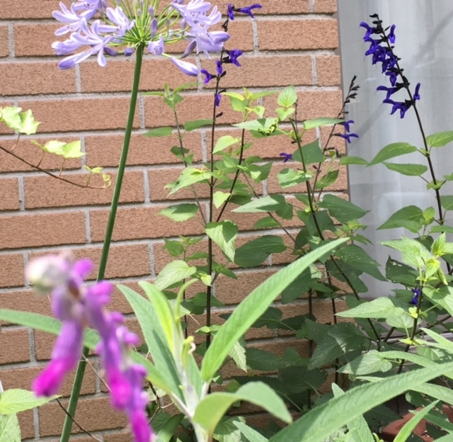 my little garden   好きなお花が次々と_a0165160_14502379.jpg