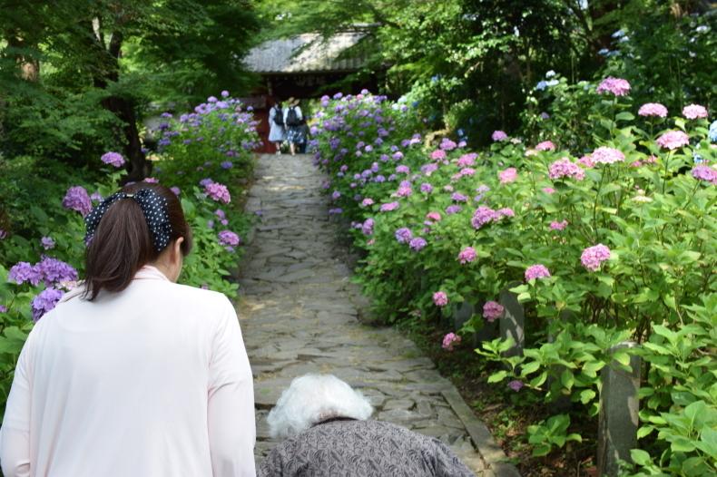 紫陽花見学 ~穂の香~_f0220087_14190272.jpg
