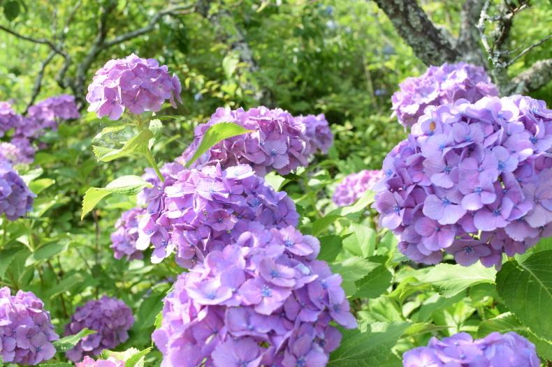 紫陽花見学 ~穂の香~_f0220087_14194580.jpg