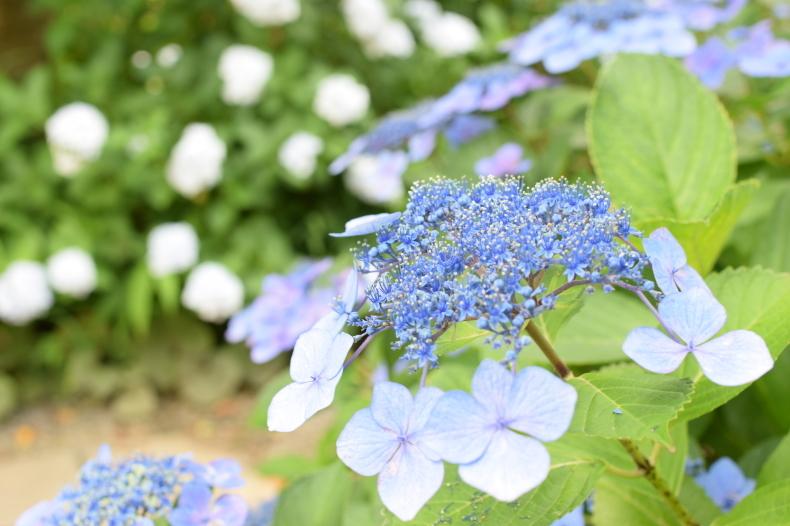 紫陽花見学 ~穂の香~_f0220087_14200852.jpg