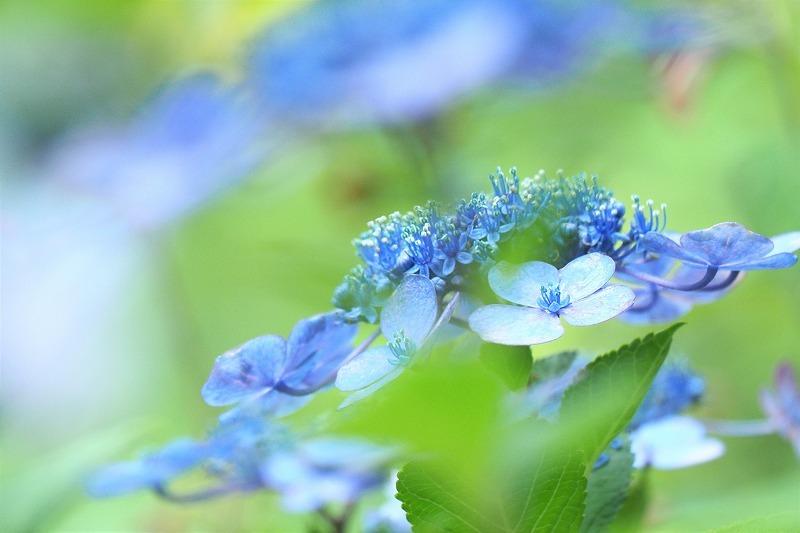 バラの二番花&ガクアジサイ_e0348392_17594082.jpg