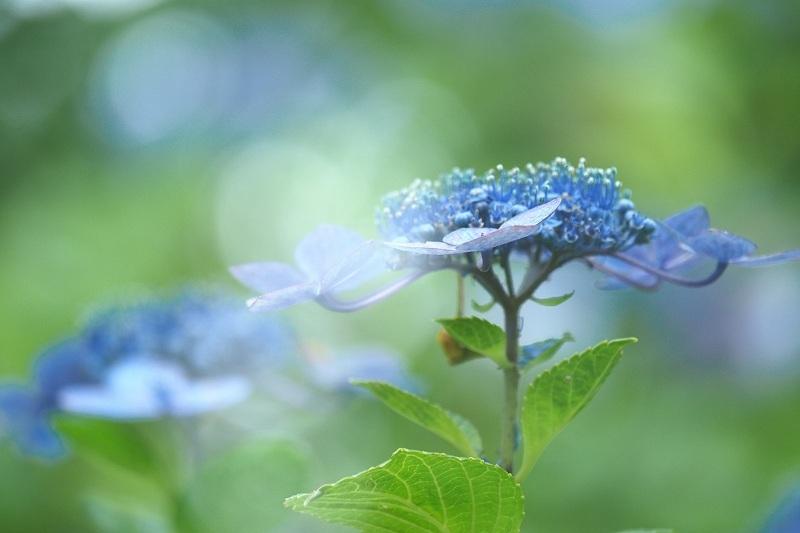 バラの二番花&ガクアジサイ_e0348392_17594613.jpg