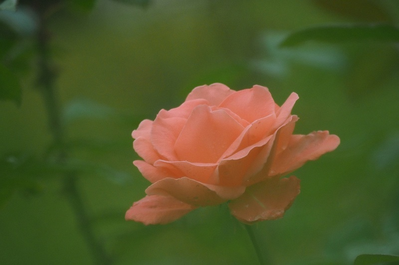 バラの二番花&ガクアジサイ_e0348392_17595200.jpg