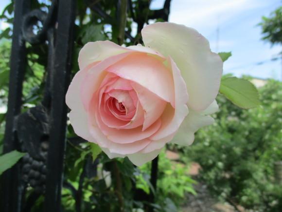 Aからのお土産&お庭の様子&飾ったお花_a0279743_14372418.jpg