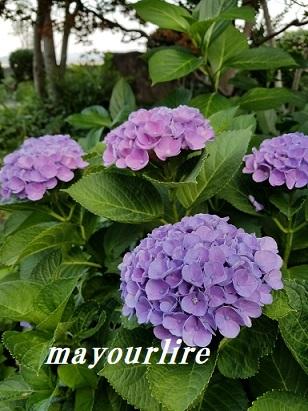 紫陽花の庭_d0169179_23240869.jpg