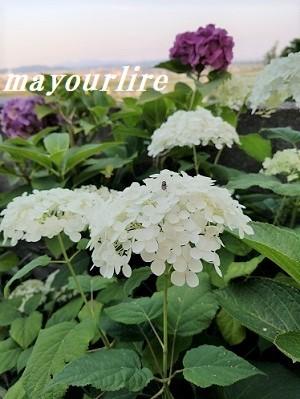 紫陽花の庭_d0169179_23272608.jpg