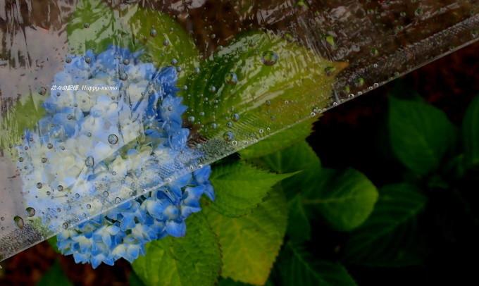 梅雨の紫陽花・・_c0357781_09194913.jpg