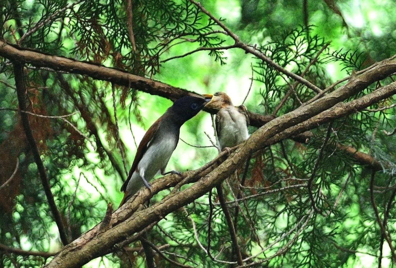 サンコウチョウの幼鳥!_e0362696_17092393.jpg
