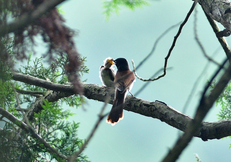 サンコウチョウの幼鳥!_e0362696_17095438.jpg