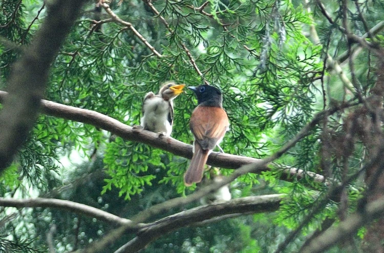 サンコウチョウの幼鳥!_e0362696_17101660.jpg