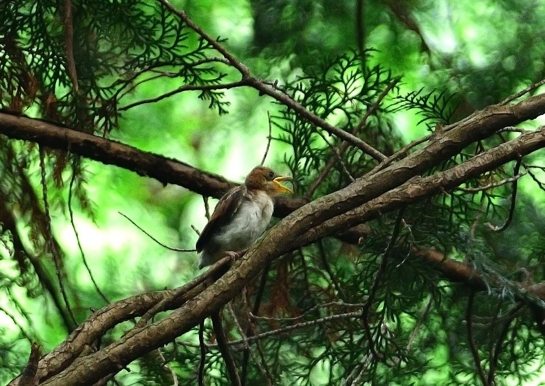 サンコウチョウの幼鳥!_e0362696_17103217.jpg
