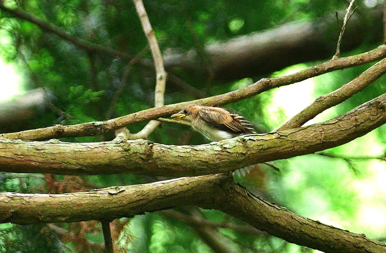 サンコウチョウの幼鳥!_e0362696_17104003.jpg