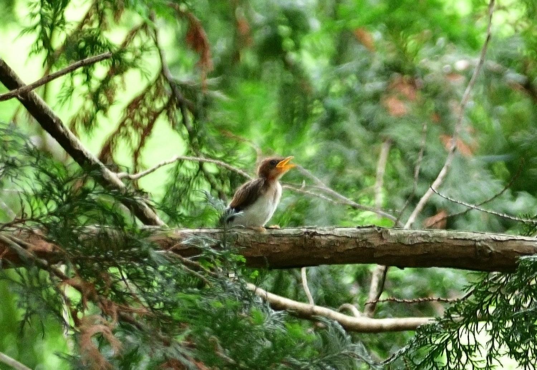 サンコウチョウの幼鳥!_e0362696_17104776.jpg