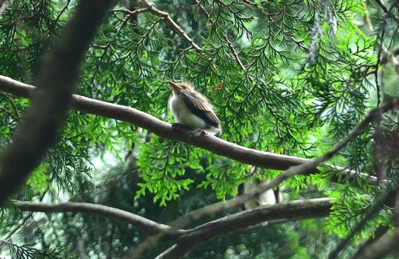 サンコウチョウの幼鳥!_e0362696_17105368.jpg