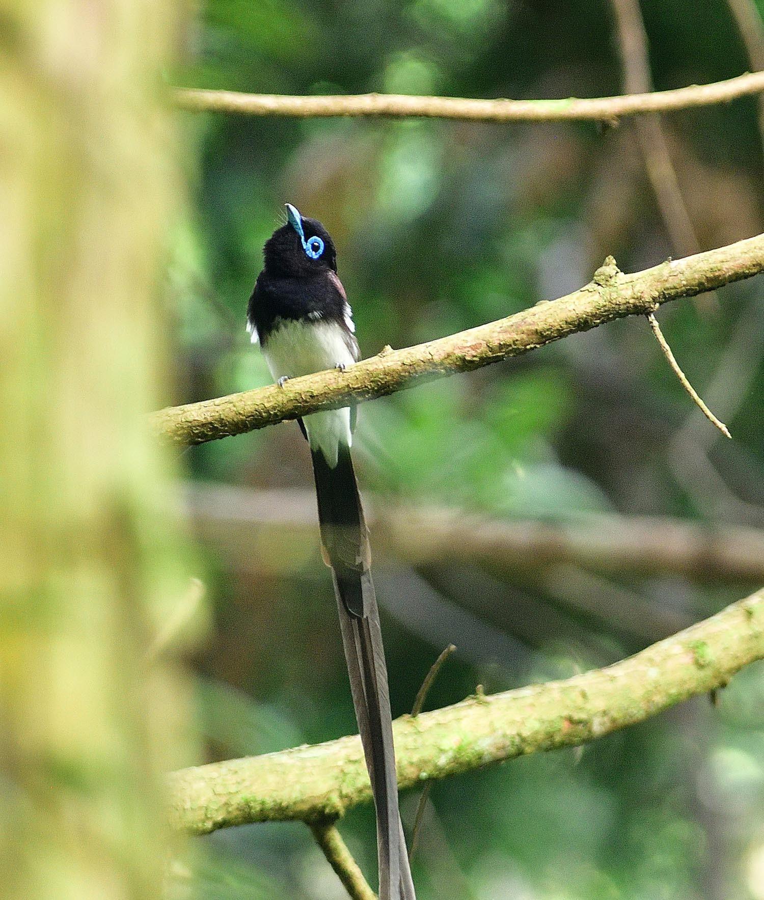 サンコウチョウの幼鳥!_e0362696_17110583.jpg