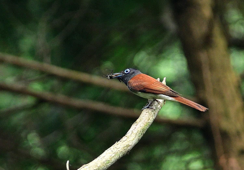 サンコウチョウの幼鳥!_e0362696_17110954.jpg