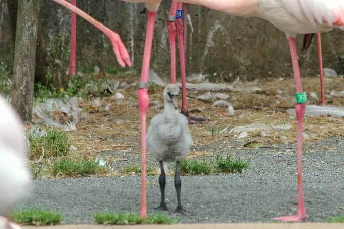 多摩動物公園ひな祭り~オオフラミンゴのヒナ_b0355317_22171894.jpg